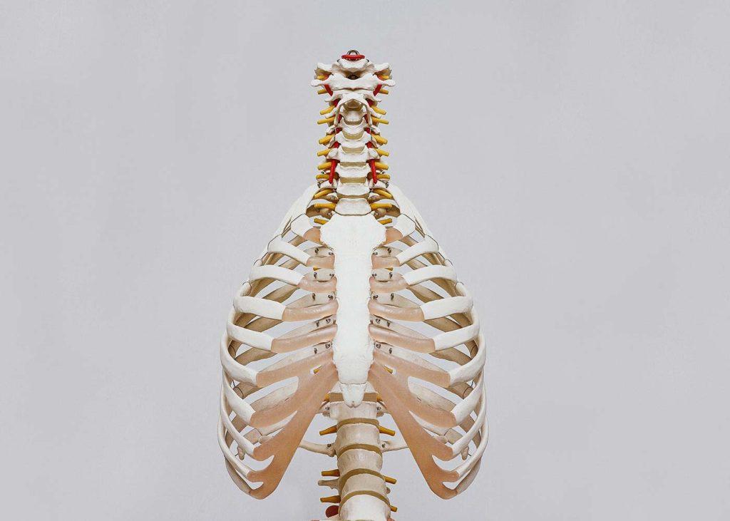 Skelett Wirbelsäule und Brustkorb