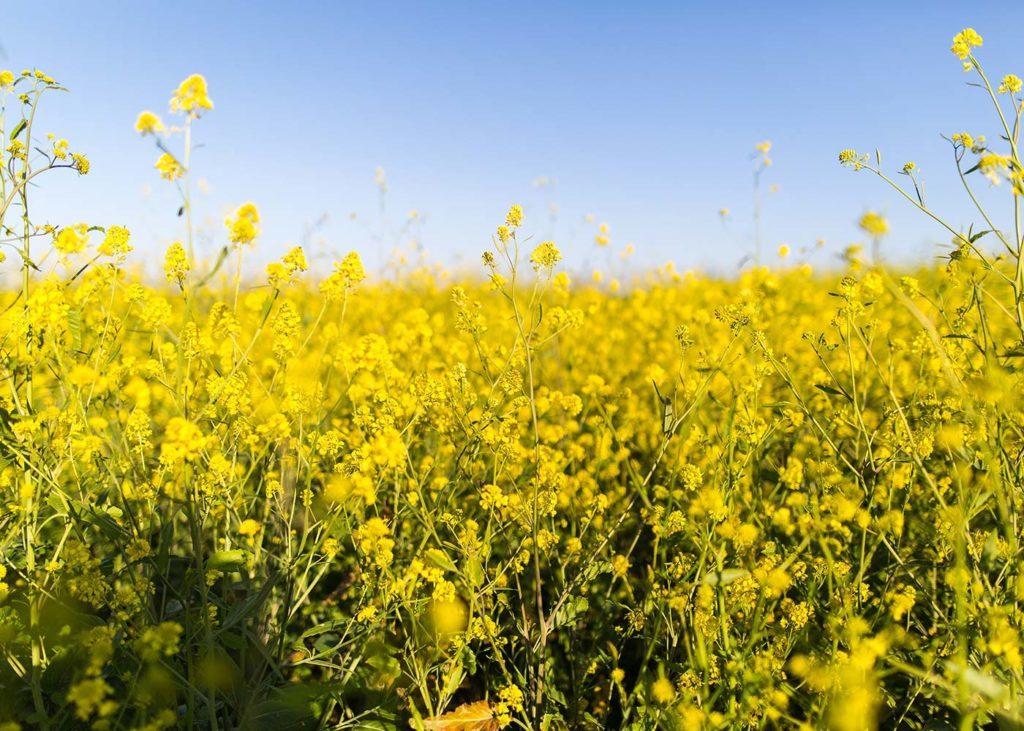 gelbe Blumenwiese Raps