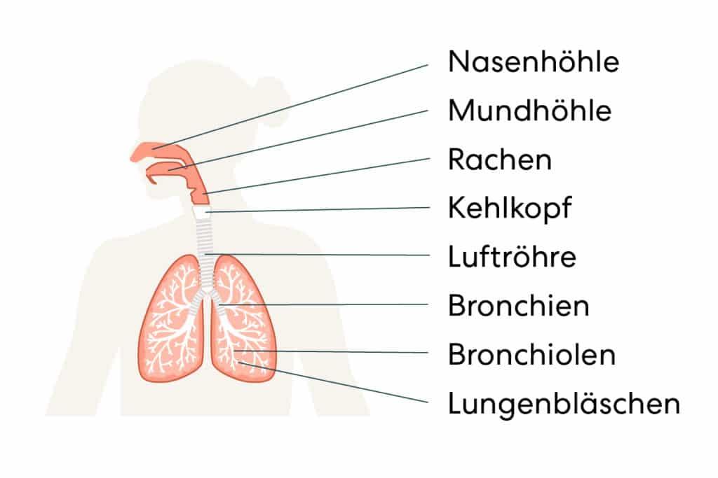 Darstellung des Atmungsapparats